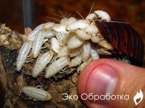 методы избавления тараканов и их личинок