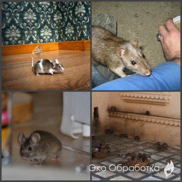 грызуны в квартире