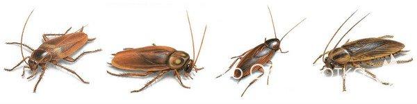 Дезинсекция от тараканов. Травля и уничтожение тараканов в Москве с гарантией.
