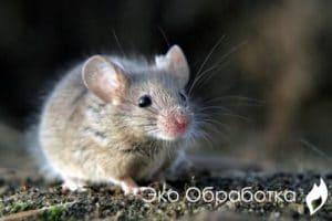 борьба с мышами сэс