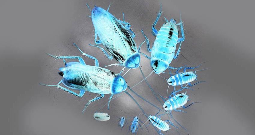 размножение тараканов в квартире