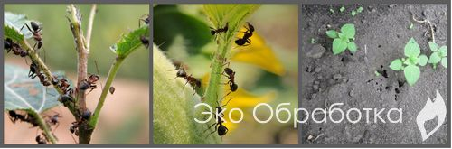 выведение муравьев из теплицы