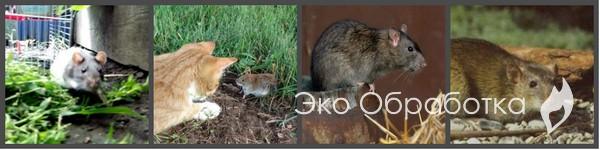 народные способы уничтожения мышей