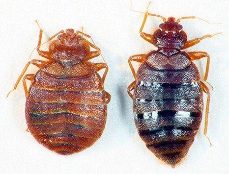 Постельные клопы - насекомые с каплевидным телом, толщина которого может меняться в зависимости от степени сытости особи