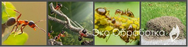 Как избавиться от садовых муравьев. Обработка участка от муравьев