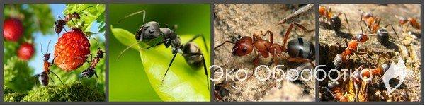 способы борьбы с садовыми муравьями