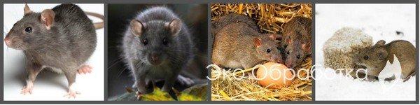 откуда берутся мыши в квартире