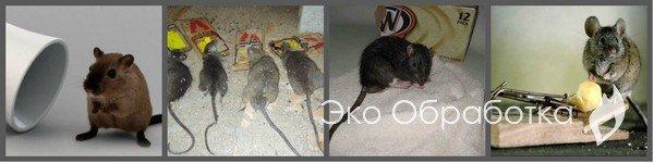 как избавиться от мышей в квартире без ядохимикатов