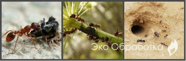 как уничтожить муравьев на огороде