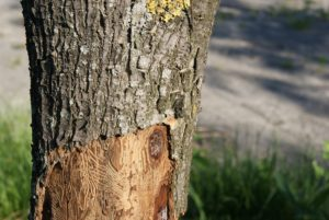 сухая древесная кора