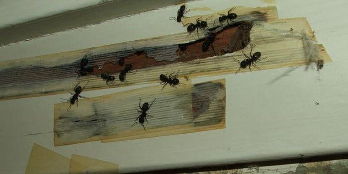 лента от муравьев