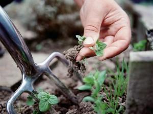 Агротехнические методы от тли