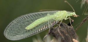 тля самка с крыльями