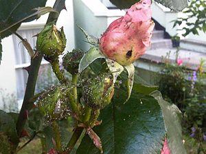 зеленая розанна тля