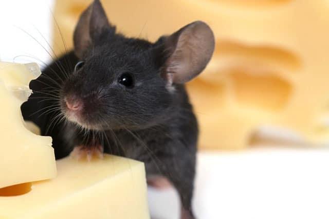 обработка от крыс в Москве или других опасных грызунов действительно необходима