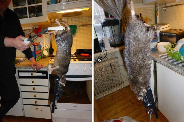 пойманная крыса