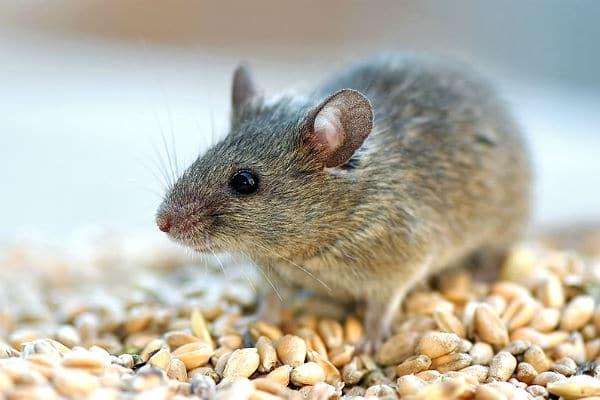 обработка помещений от мышей