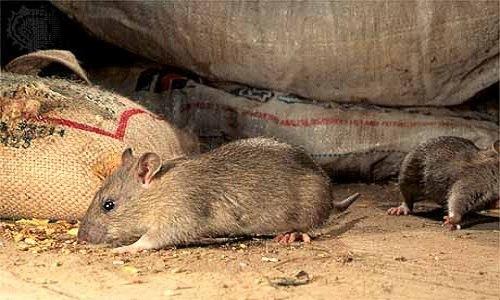 визит крыс или мышей непосредственно на жилую территорию