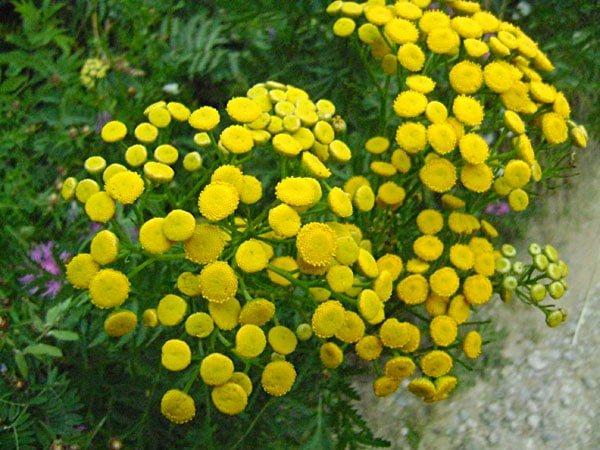 растения от блох