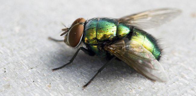 мухи всегда ухудшают состояние жилого помещения и влияют на здоровье жильцов