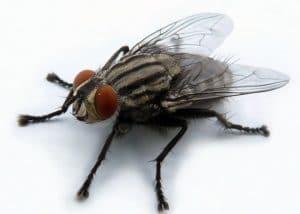 какой вред приносят мухи