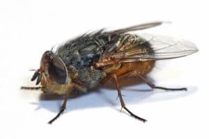 Мясные мухи серого цвета являются живородящими