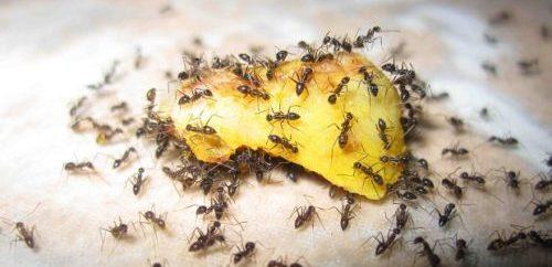 дрожжи и борная кислота от муравьев