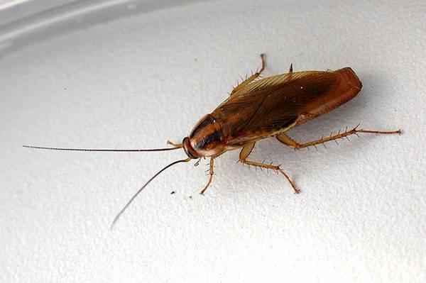 Лучшее средство от рыжих тараканов