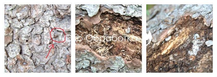 Борьба с короедом на деревьях. Уничтожение короеда в деревянном доме и квартире.