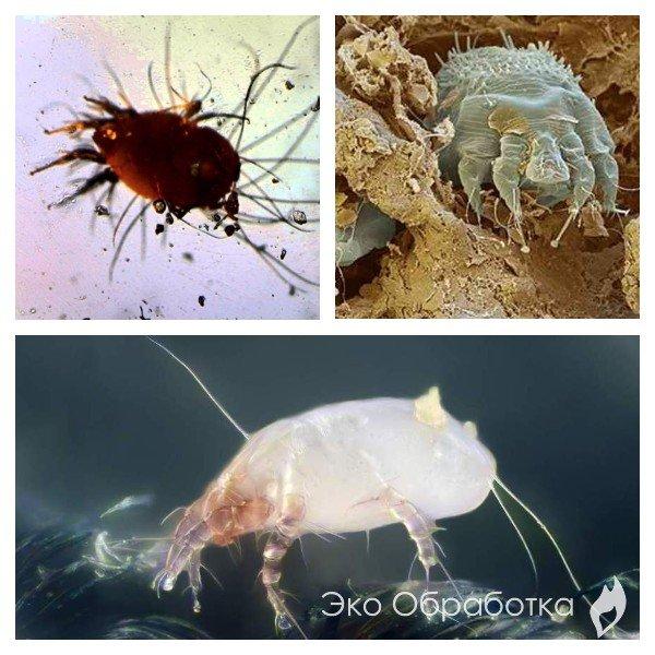 Чем опасны пылевые паразиты