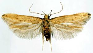 ячменный мотылёк