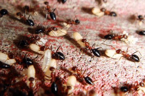 размножение муравьвев