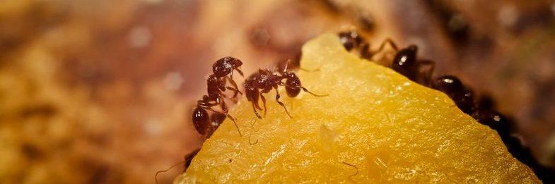 питание муравьев