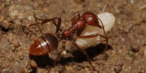 муравьи амазонки