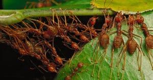 портные муравьи