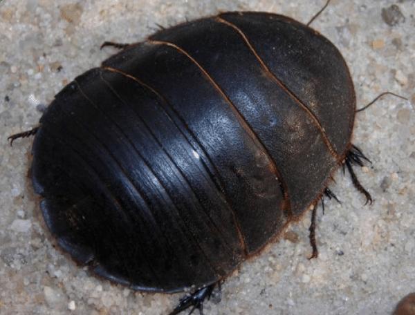 Туркменский тараканы
