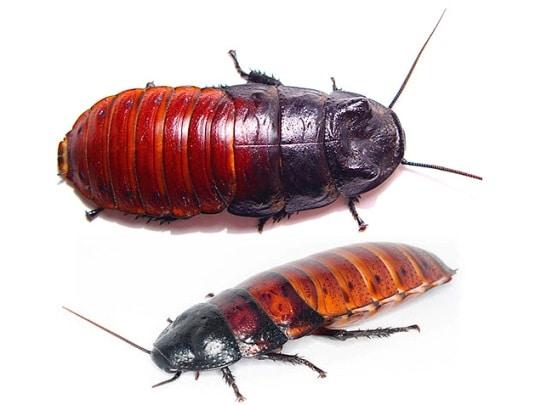 Экзотические тараканы