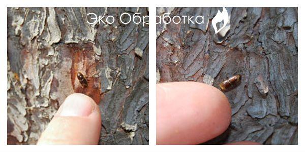 короед на дереве